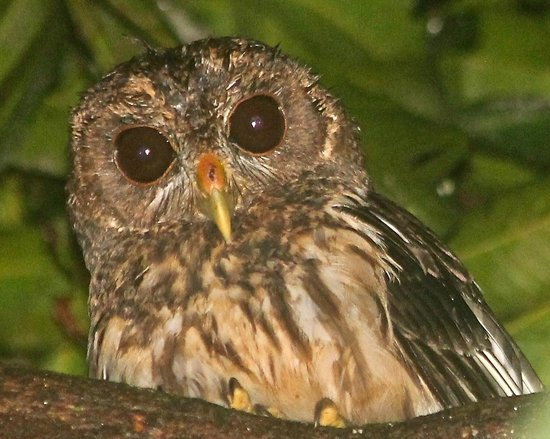 The Lodge and Spa at Pico Bonito: Barred Owl on our night walk