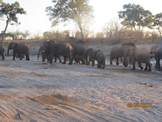 Camp Savuti: Elephants