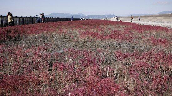 Suaeda Japonica Habitat : 東与賀海岸シチメンソウ群生地