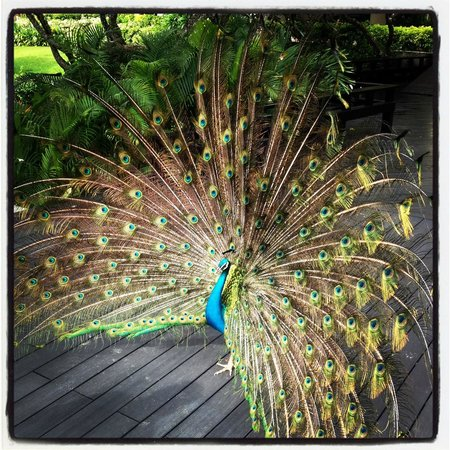 Hilton Phuket Arcadia Resort & Spa: Beautiful Peacock