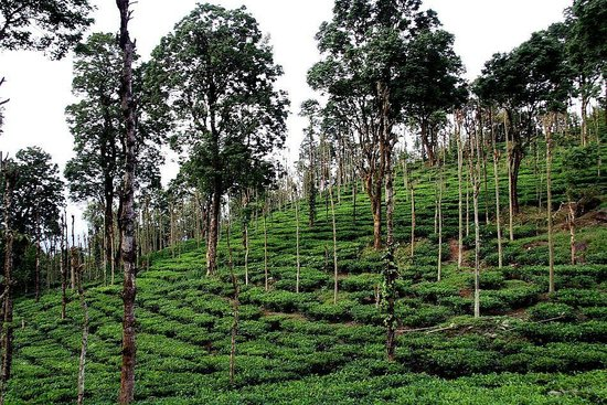 Banasura Hill Resort: Tea Garden on the estate