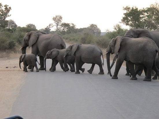 Kruger Flexi Tours - Day Tours: Elephant Herd Crossing the Road