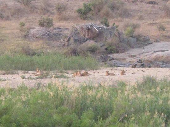 Kruger Flexi Tours - Day Tours: Lions Along the Sabie River