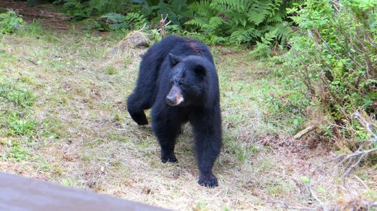 Anan Creek Bear Observatory: A close encounter. Our guide asked me to move back.