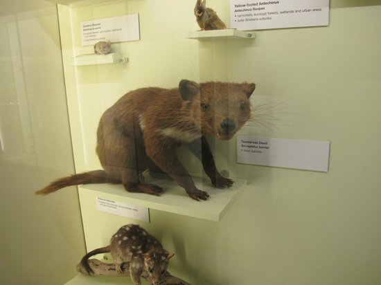 Queensland Museum South Bank: devil tasmanian