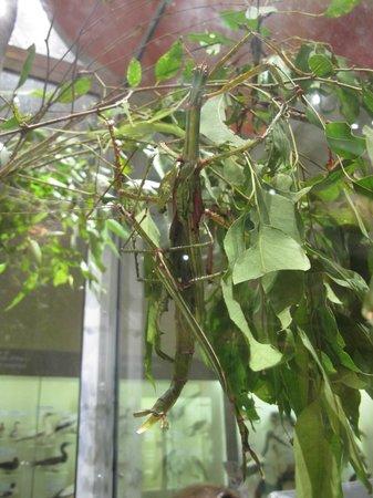 Queensland Museum South Bank: green grasshopper
