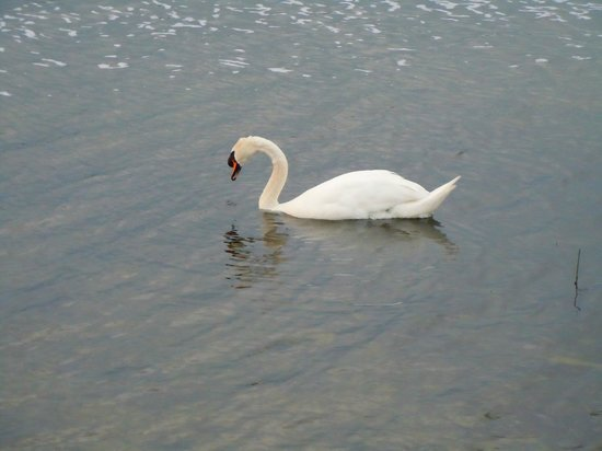 Bloomfield House Hotel, Leisure Club & Spa : Swans on the lake