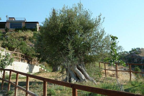 Ciuci's Manor: l'olivo