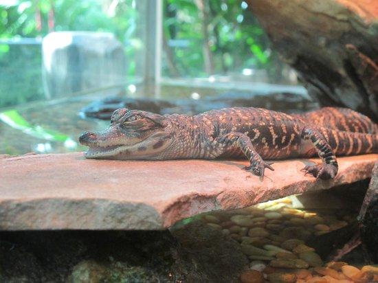 Gaylord Palms Resort & Convention Center: Gator