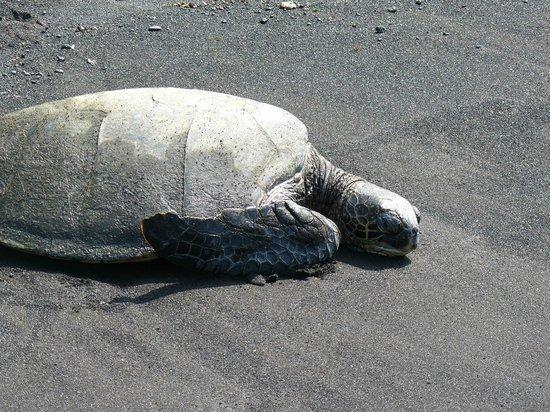 Polynesian Adventure Tours: Green Sea Turtles at a Black Sand Beach