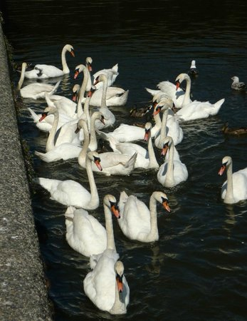 Old Kings Arms Hotel: Swans on the river