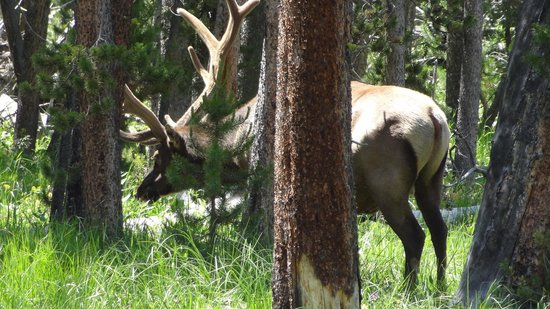 Ana's Grand Excursions: a moose off the road in YNP