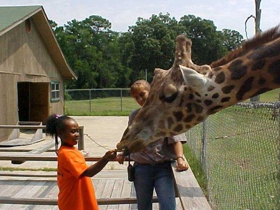 giraffe feeding - Louisiana Purchase Gardens And Zoo Splash Pad