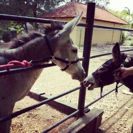Curacao Zoo & Nature Reserve: Love at first sight. We finally found a mate for the Donkey; Pos. A new member♡