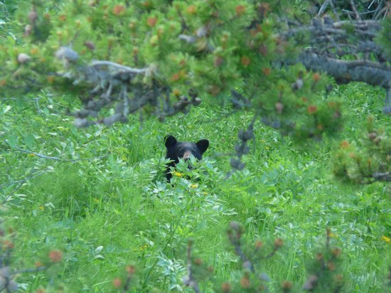 Two Medicine Campground: Bear we saw from Two Medicine trail