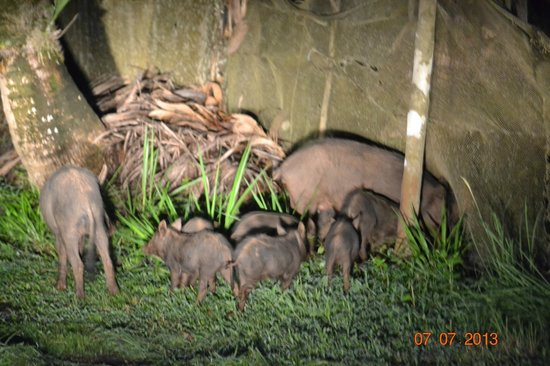Hacienda del Mar: Family of pigs at night