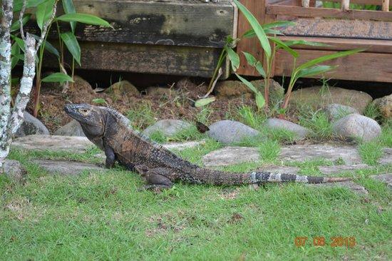 Hacienda del Mar: Iguana's