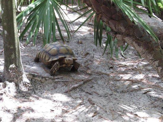 Calusa Nature Center and Planetarium : Cutest Tortoise