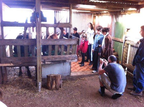 Brockhurst Farm: Milking the cow