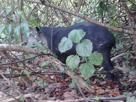 Martina's Place Day & Night Tours: tapir