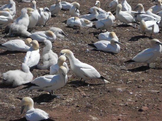 Les Bateliers de Perce : colonia delle sule boreali