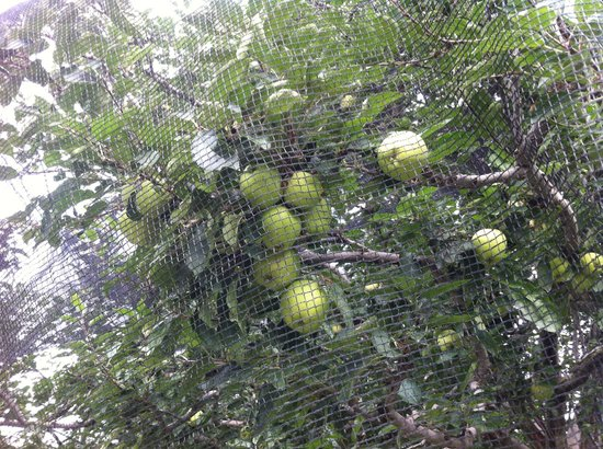 Banjara Camps - Thanedar: apples on the trees