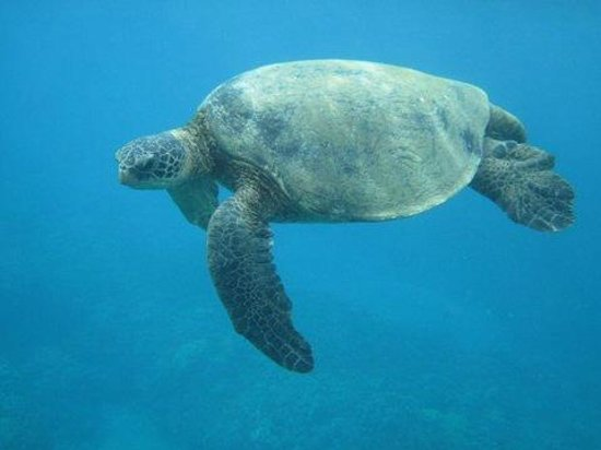 Maui Snorkel Tours: Honu swimming right by us.