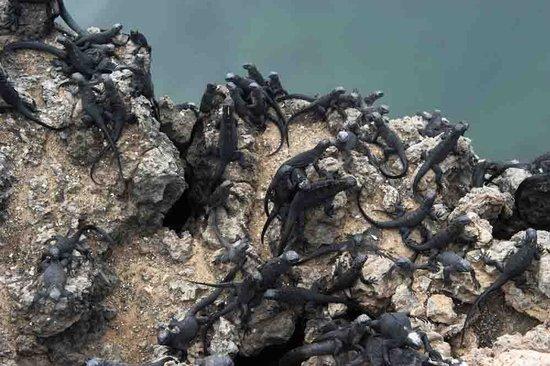 Las Tintoreras: Marine iguanas