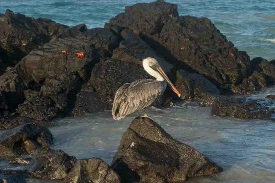 Iguana Crossing: Pelican in front of hotel