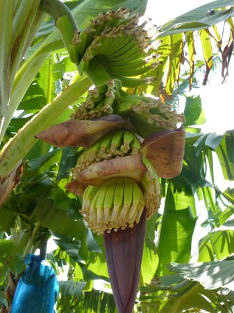 A-Touring Services Private Tours: Banana trees