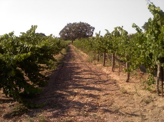 Firestone Vineyard: vineyard