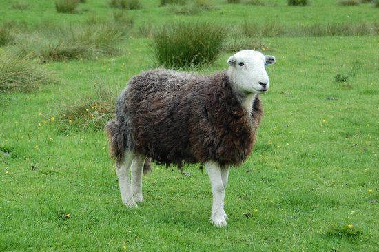 Invergarry Guest House: Herdy Sheep