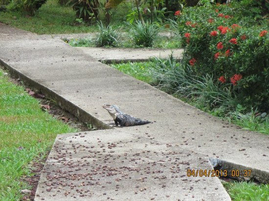 Villas Rio Mar: Iguana on the hotel site