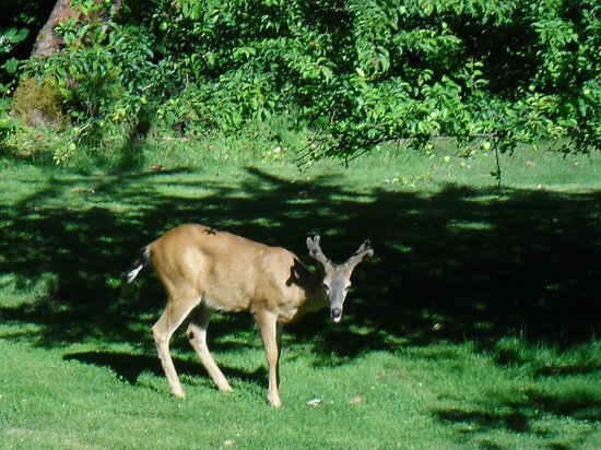 Secret Beach Bed and Breakfast: The deer that wandered on the property