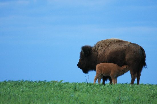 Neal Smith National Wildlife Refuge and Prairie Learning Center: American Buffalo