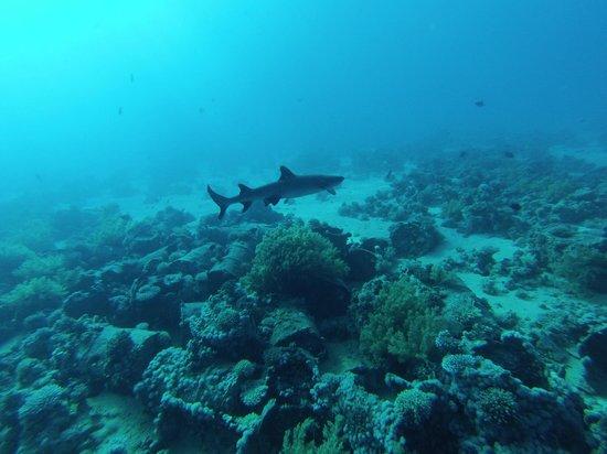 Only One Apnea Center: le 1er requin de la saison