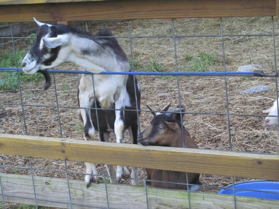 The Lantern Resort Motel and Campground: Sweet little goat family at The Petting Zoo