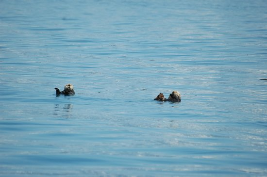 Alaska Saltwater Lodge & Tours: sea otters