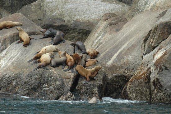 Alaska Saltwater Lodge & Tours: Stellar sea lions
