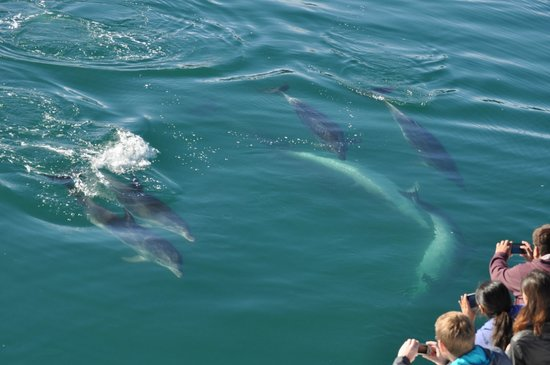 Fullers GreatSights Bay of Islands Day Tours: Encounter with wild dolphins