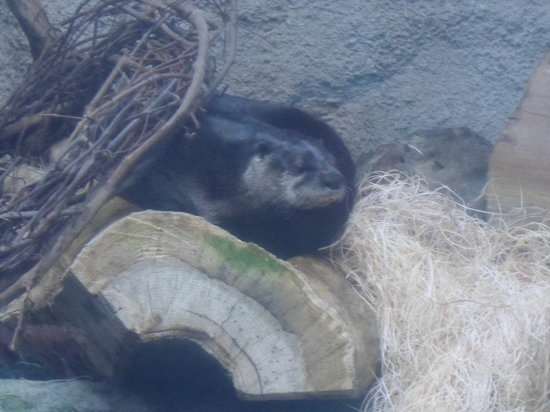 North Carolina Aquarium on Roanoke Island: Sea Otters