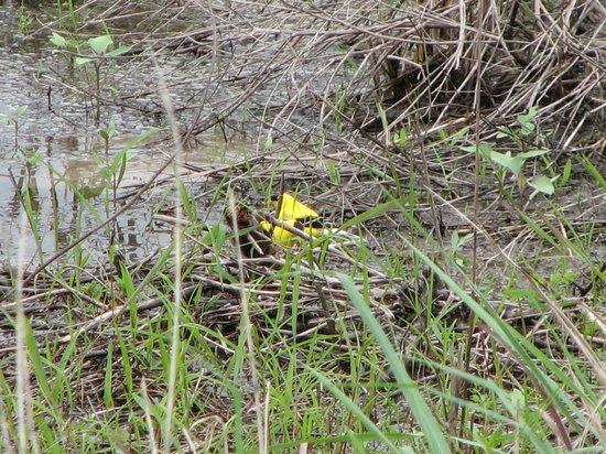 Riverlands Migratory Bird Sanctuary: gold finches