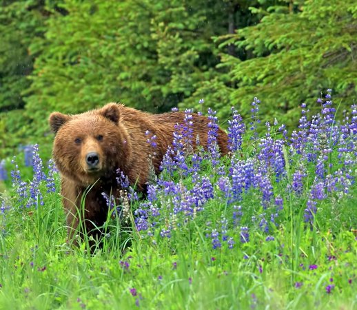 Lake Clark National Park and Preserve, AK: Brown Bear in Lupine