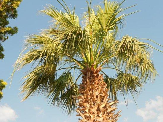 Olympos Hotel : Palm Tree
