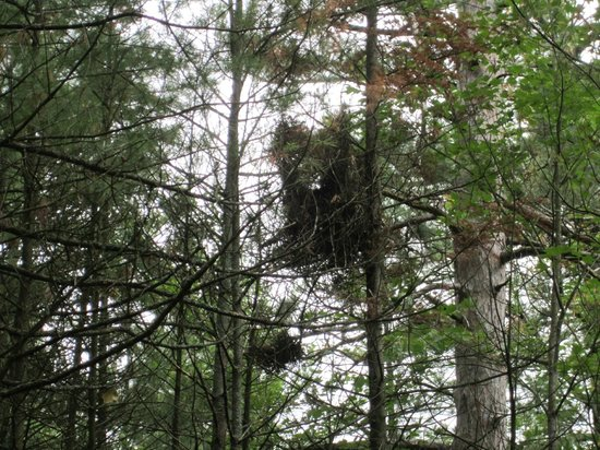 Lumberman's Monument Park: large nest in tree.........along trail