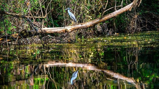 Town Lake : A great Blue Heron rests on a tree branch over the lake.