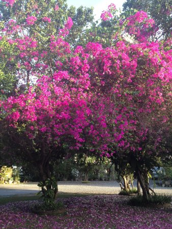 Amarela Resort: Blooming trees near the entrance
