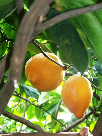 Jardin Botanique Et Exotique Val Rahmeh : Citron De Menton