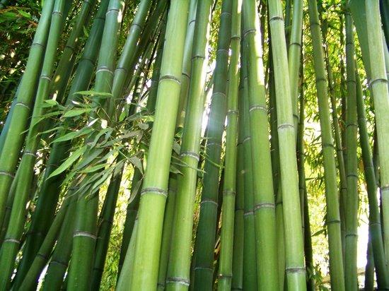 forêt de bambou  Picture of Jardin Botanique et Exotique
