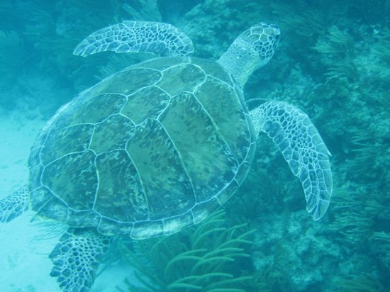 Sea Ventures Dive Center: Sea Turtle